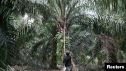 Seorang pekerja memanen buah kelapa sawit di tengah wabah virus corona di Klang, Malaysia, 15 Juni 2020. (Foto: Reuters)