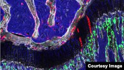 The osteochondroretricular (OCR) stem cell, a newly identified type of bone stem cell that appears to be vital to skeletal development and may provide the basis for novel treatments for osteoarthritis, osteoporosis and bone fractures.