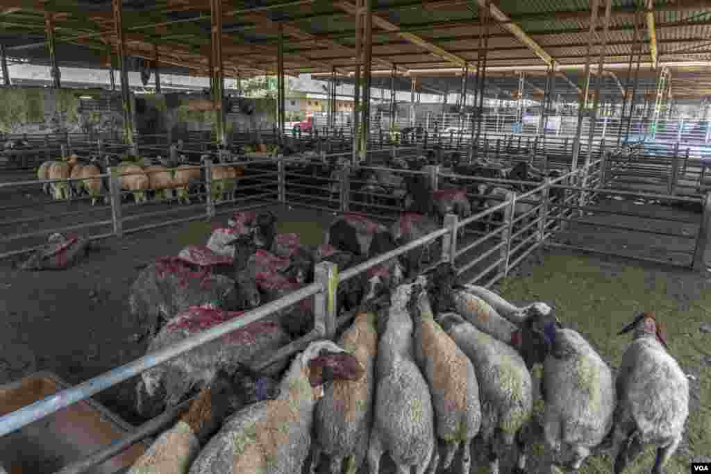 The Egyptian government imported more than 160,000 animals, mainly from Sudan, in an attempt to stabilize meat prices, which normally soar during the holidays, in Cairo on July 17, 2021.