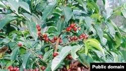 Baisse de la production de café au Cameroun
