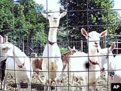 Goats are relatively easy to raise. They're self-sufficient - surviving quite well on available grasses. Contrary to their cartoon caricatures, they don't eat tin cans.