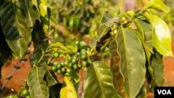 Coffee beans on the coffee trees in Mr. Bou Sopheap's plantation in Mondulkiri province on March 11th, 2015. (Nov Povleakhena/VOA Khmer)