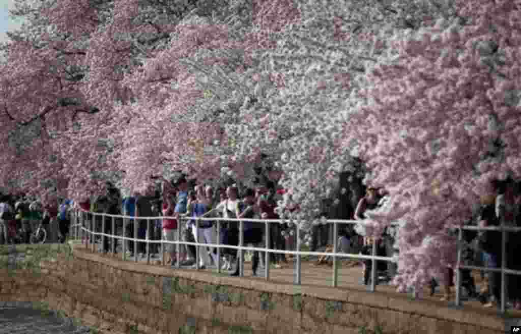 10일 미국 워싱턴 타이들 베이신으로 벚꽃 구경을 나온 관광객들.