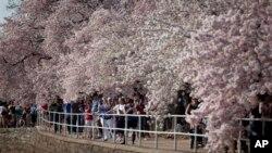 El Servicio de Parques Nacionales espera que 1,2 millones de personas visiten Washington debido al Festival de Árboles de Cerezos.