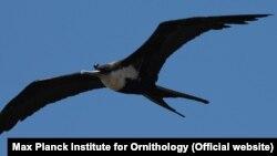 Las fragatas son aves marinas de las Galápagos, que tienen largas alas, con una envergadura de aproximadamente un metro y pesan un poco más de un kilo.