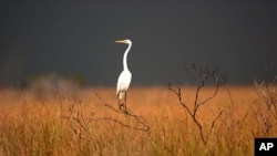 A great egret sits on top of a dead tree in the Florida Everglades, near South Bay, Fla. Friday, Jan. 14, 2005,