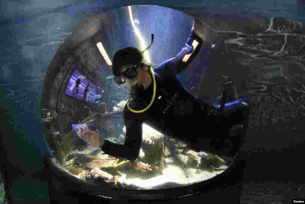 Un buzo utiliza una tarjeta plástica para limpiar el acuario de vidrio en Boulogne-sur-Mer, Francia.