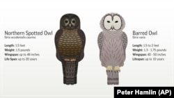 This image shows the differences between a barred owl and northern spotted owl.