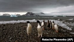 In this Jan. 27, 2015 photo, penguins walk on the shore of Bahia Almirantazgo in Antarctica. (AP Photo/Natacha Pisarenko)
