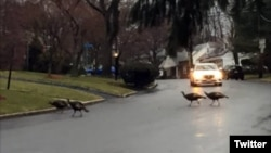 Wild turkeys are seen crossing a street in Teaneck, NJ, in this photo tweeted by New Jersey News.