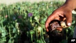 امسال ۲۰۱ هزار هکتار زمین در افغانستان کوکنار کشت شده است.