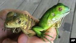 Esta foto del 6 de septiembre de 2016, tomada por Fred Burton, del Departamento de Medio Ambiente de las Islas Caimán muestra a un bebé de iguana verde junto a otra iguana infante posiblemente de una especie híbrida que sería una amenaza a la variedad endémica de las islas. Vía AP.