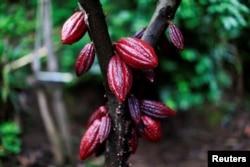 A cocoa tree with cocoa fruits is seen at El Carmen Estate in Jayaque, El Salvador July 20, 2016.