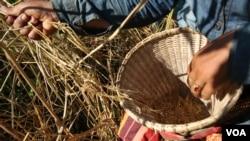 A farmer is harvesting rice grain in their traditional rice farm in Ratanakiri province, on December 1, 2015. (Nov Povleakhena/VOA Khmer)