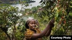 នាង Bichera Ntamwinsa អាយុ២៣ឆ្នាំ បេះគ្រាប់កាហ្វេពីចំការនៅ Bukavu ក្នុង សាធារណរដ្ឋប្រជាធិបតេយ្យកុងហ្គោ។ (UNESCO/Tim Dirven)