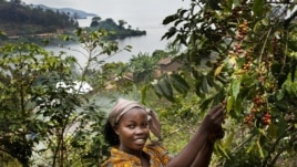 Bichera Ntamwinsa, 23, picks berries from her coffee plants in Bukavu, DRC. Farmer field schools and agricultural cooperatives can help smallholder farmers gain skills while strengthening their common voice. (UNESCO/Tim Dirven)