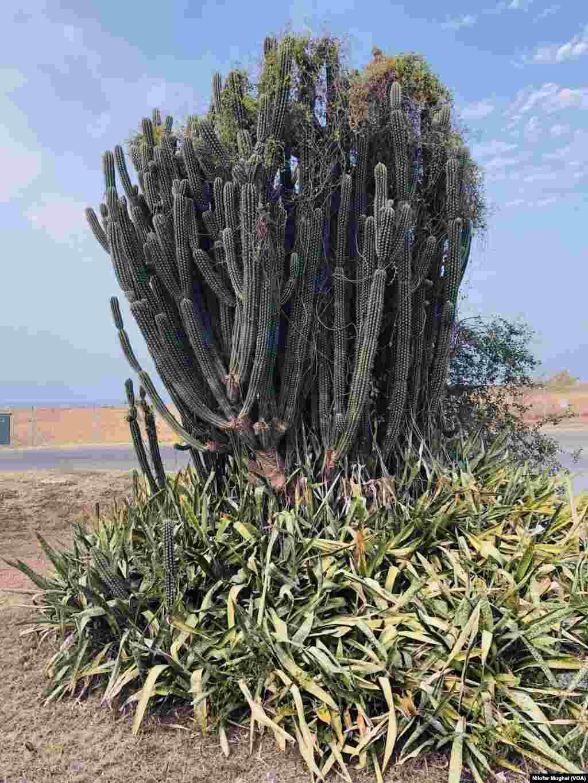 کیکٹس: یہ پودا گوانتانامو نیول بیس میں ہرجگہ دکھائی دیتا ہے۔ یہ کیکٹس کی ایک بڑی قسم ہے۔
