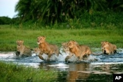 'The Last Lions' Documentary Traces Botswana Lioness, Her Cubs