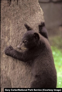 A black bear cub climbs a tree