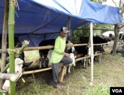 Kebanyakan peternak memilih tetap memelihara sapi mereka.