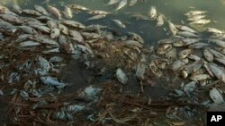 This image made from a video, Jan. 7, 2019, shows dead fish along the Darling River bank in Menindee, New South Wales, Australia. An Australian state government announced plans to pump oxygen into lakes and rivers after hundreds of thousands of fish have died in the heat.