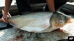 Azijski šaran prijeti ulaskom u Velika jezera, čime bi mogao ugroziti čitavu tamošnju ribolovnu industriju, koja godišnje donosi 7 milijardi dolara (T. Lawrence, Great Lakes Fishery Commission)