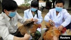 Petugas kesehatan China menyuntikkan vaksin flu buung kepada unggas di sebuah peternakan di daerah Guangxi Zhuang (foto: dok).