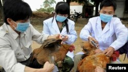 Workers from an animal disease prevention and control center inject chickens with the H5N1 bird flu vaccine in Shangsi county, Guangxi Zhuang autonomous region. REUTERS/China Daily
