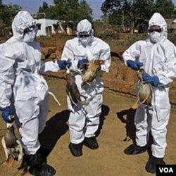 Petugas kesehatan di India membasmi unggas yang terjangkit virus H5N1 (foto: dok). Virus H5N1 yang berasal dari Asia mengakibatkan 60 persen kematian akibat flu burung.