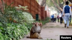 A monkey sits on a pavement outside India's Parliament building in New Delhi, India, November 15, 2018. Picture taken November 15, 2018. REUTERS/Anushree Fadnavis