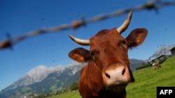 A cow grazes in a field near Salzburg, some 400km west of Vienna on September 2012. (ALEXANDER KLEIN / AFP)