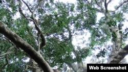 Dəmir ağacı