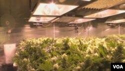 Uzgajalište marihuane