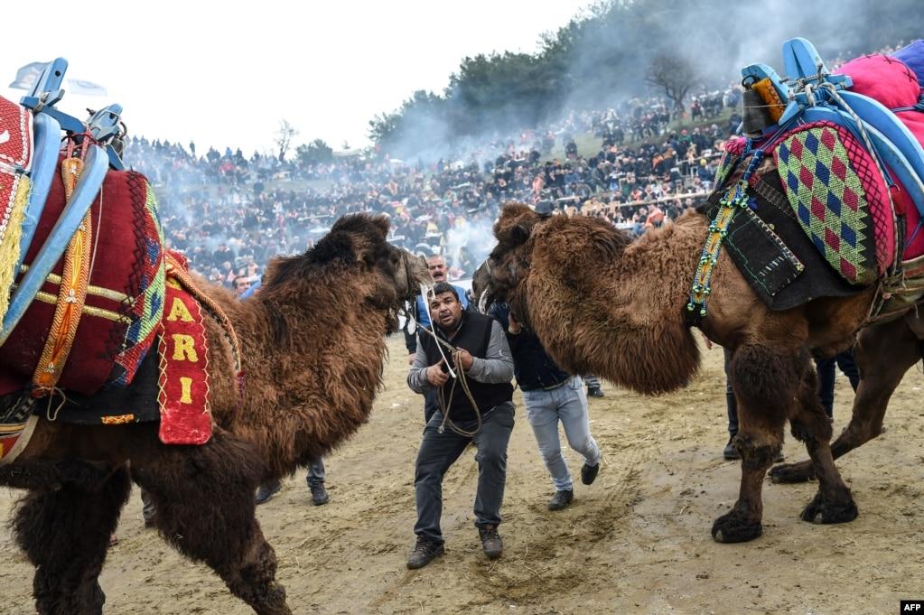 터키이즈미르 인근 셀컥 마을에서 열린 낙타 레슬링 축제에서 축제 관계자가 낙타들을 이동시키고 있다.