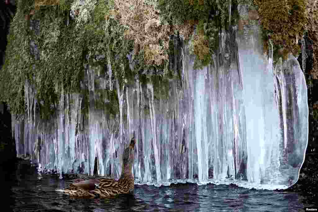 A duck swims near icicles at a pond in Bern, Switzerland.