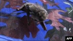Летучая мышь Лесли Стургес