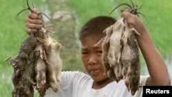 Filipino farm boy shows his catch of rats from the rice fields north of Manila.