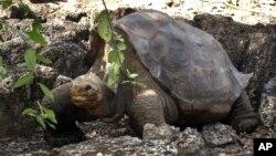 """La famosa tortuga """"El Solitario Jorge"""", murió en las islas Galápagos, a la edad de 100 años. Era única en su especie."""