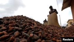 Des employés ramassent des fèves de cacao à Niable, près de la frontière entre la Côte d'Ivoire et le Ghana, le 19 juin 2017.