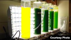 Para peneliti menumbuhkan lumut dalam tabung kaca di laboratorium Phil Savage di Universitas Michigan yang dapat diolah menjadi biofuel dalam waktu kurang dari satu menit (Photo: University of Michigan)