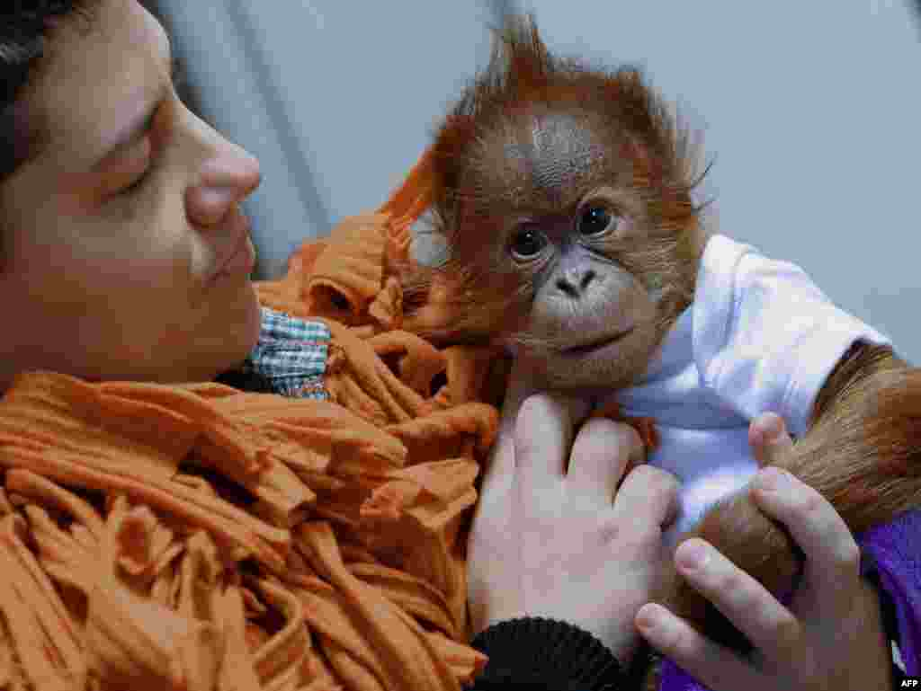 Three-month-old baby orangutan Bulu Mata is prepared to travel to his new home, the Monkey World of Dorset, United Kingdom, by his Hungarian nurse Bernedett Marschalko at the Zoo and Botanic Garden in Budapest.