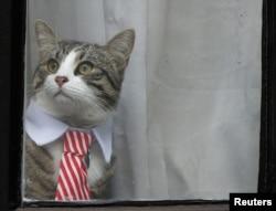 FILE - Julian Assange's cat sits at the window of Ecuador's embassy in London, Britain, Nov. 14, 2016.