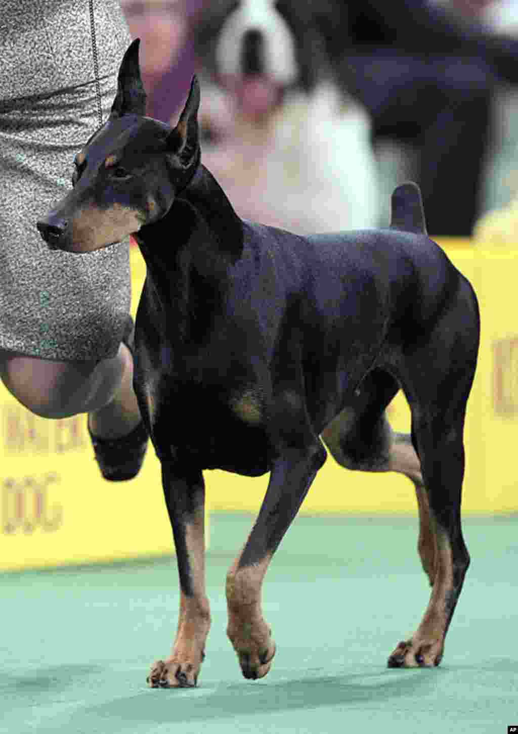 Protocol's Veni Vidi Vici, a Doberman Pinscher, who won its group at the Westminster Kennel Club dog show in New York, February 14, 2012. (AP)