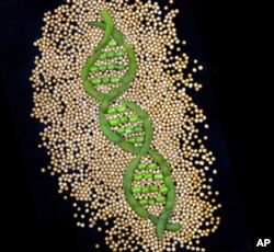 Researchers are working on scanning tens of thousands of different soybean varieties to look for useful traits.