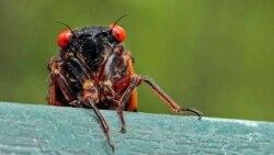 Quiz - Trillions of Cicadas Are Coming!