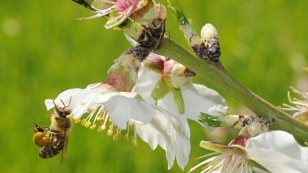 A honey bee packs pollen from this almond tree blossom before returning to her hive.