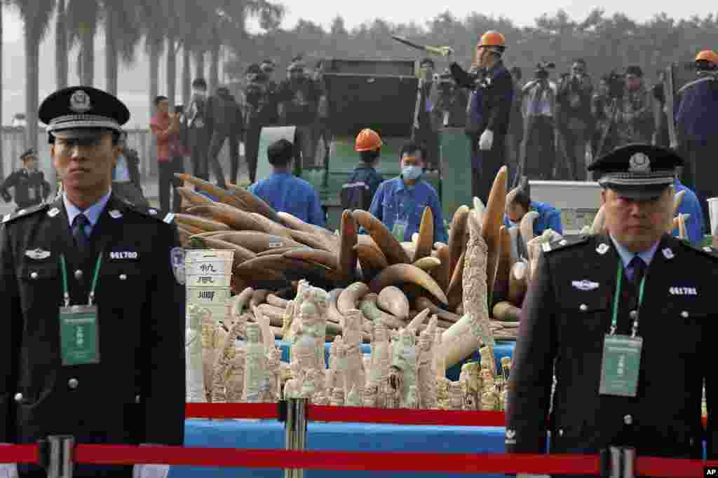 GUANGDONG, CHINA: In ivory's biggest markets around the globe, Chinese customs officers destroyed six tons of confiscated tusks on January 6, 2014.