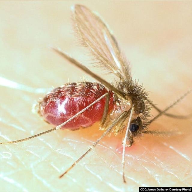 Sandfly (Phlebotomus papatasi)