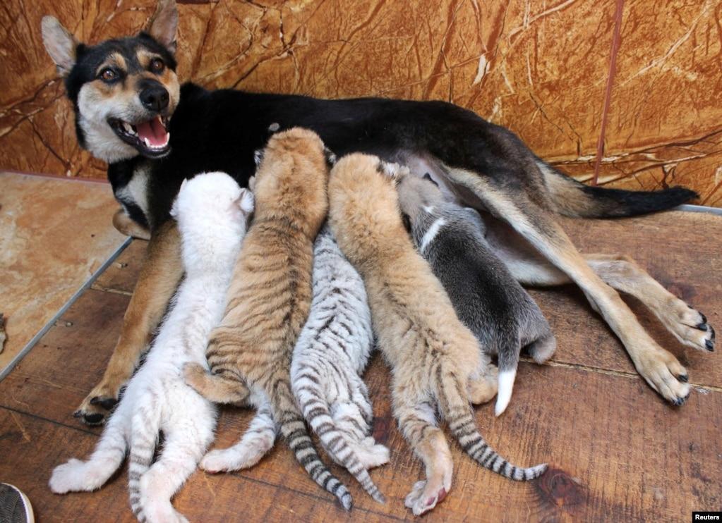 Seekor anjing menyusui 4 bayi harimau dan seekor anak anjing di suaka margasatwa Xixiakou, provinsi Shandong, China.