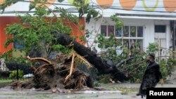 """在菲律宾被强台风""""海燕""""刮倒的大树"""